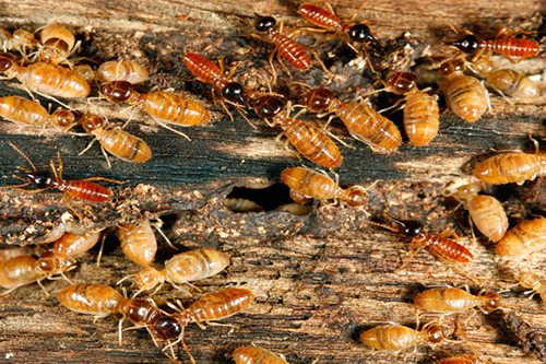 Termite Treatment Gold Coast. Complete Termite Solutions & Pest Control.